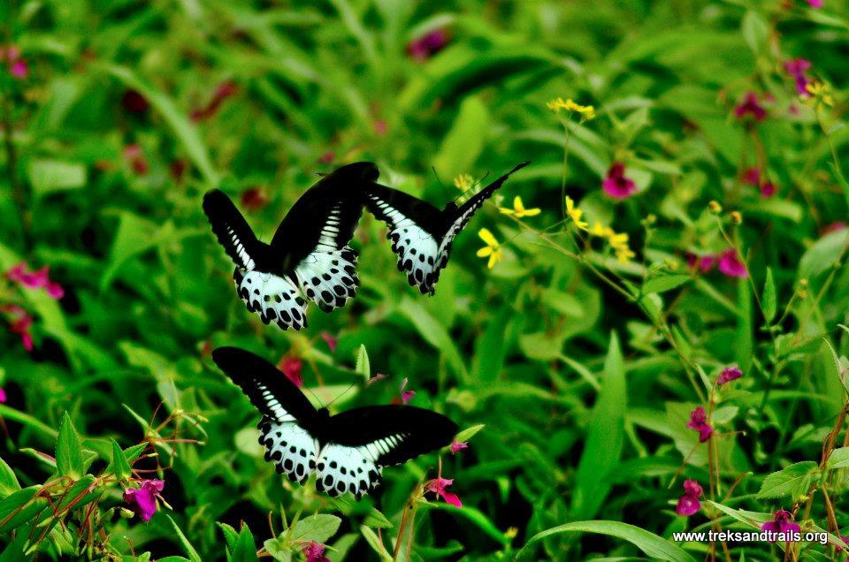 Kaas-Plateau-Butterfly