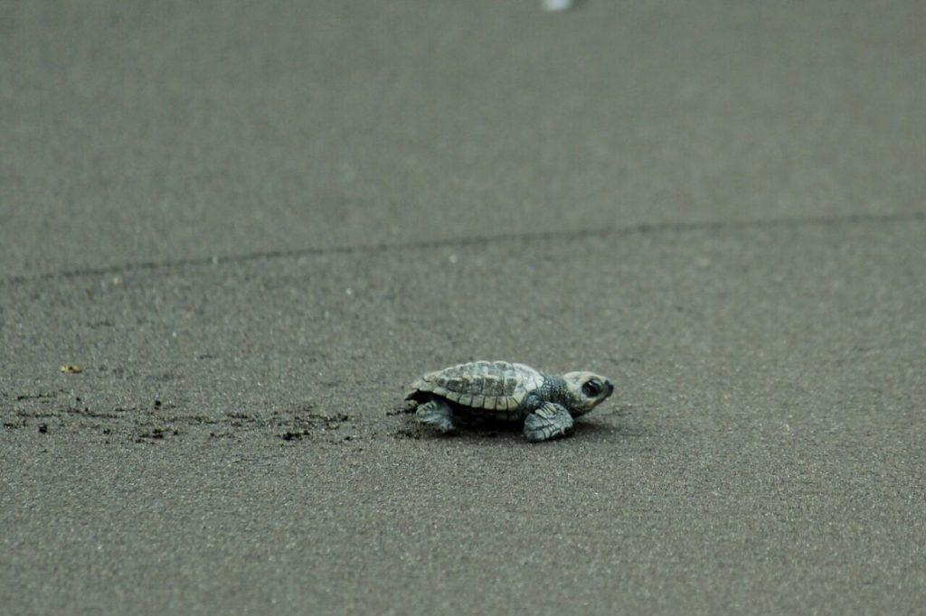 Olive Ridley Turtle   Velas Turtle Festival   Treks and Trails India