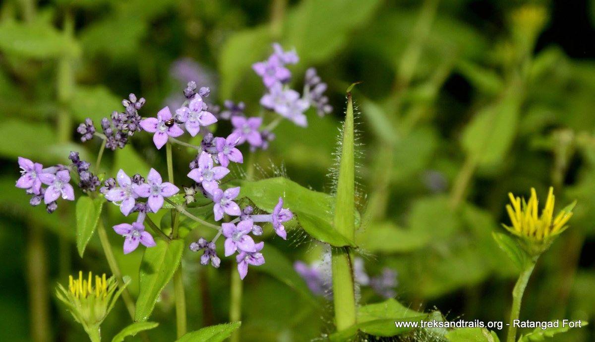 Ratangad-Flower-Trek