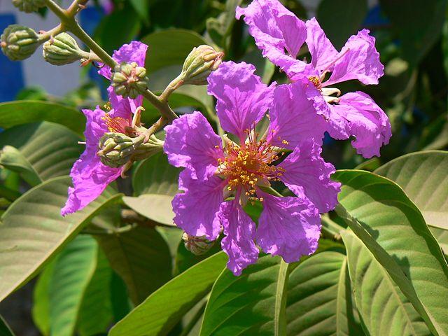 Tamhan-Flower