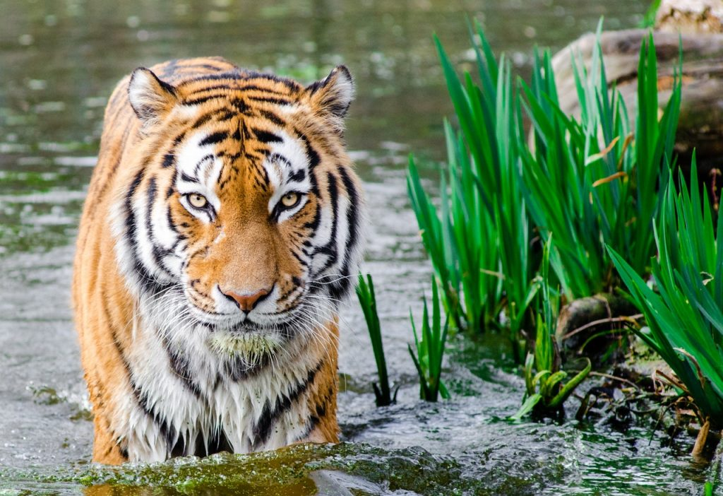 Tiger Skin Trade |  Save the Tiger - Wikipedia