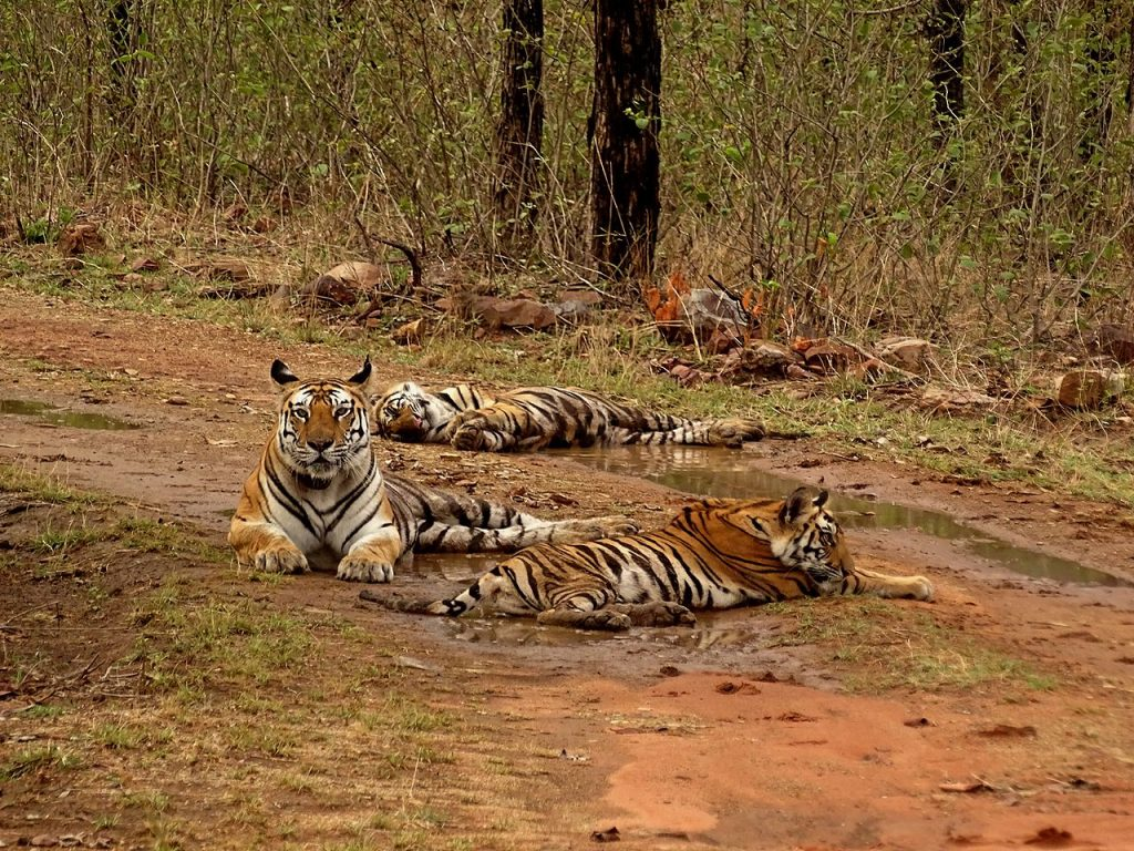 Tiger-National-park-india-1