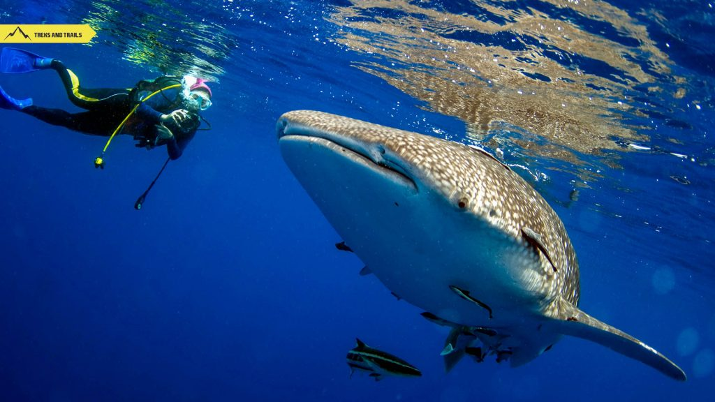 Koh-Tao-White-Shark-Diving