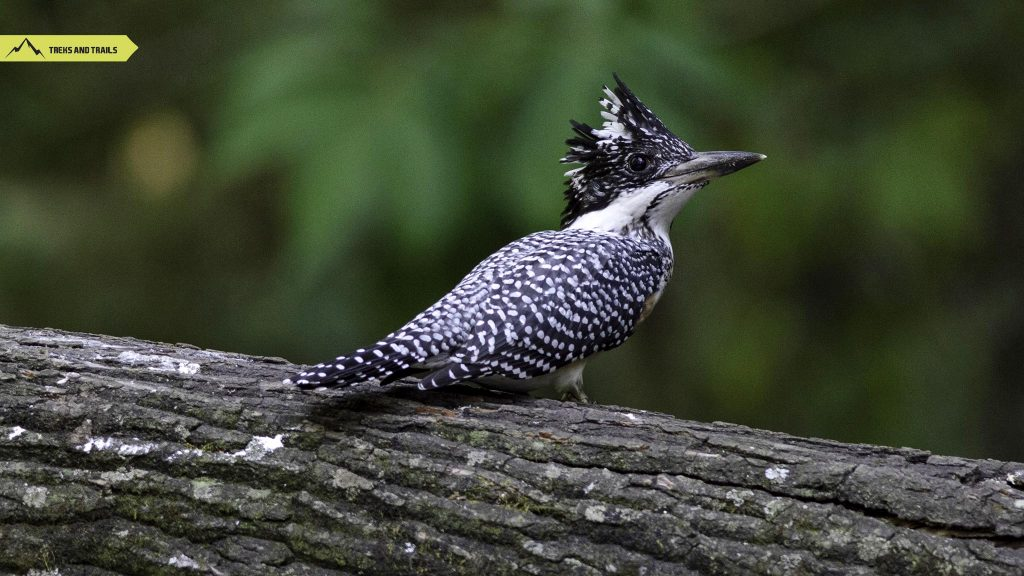 Crested-Kingfisher