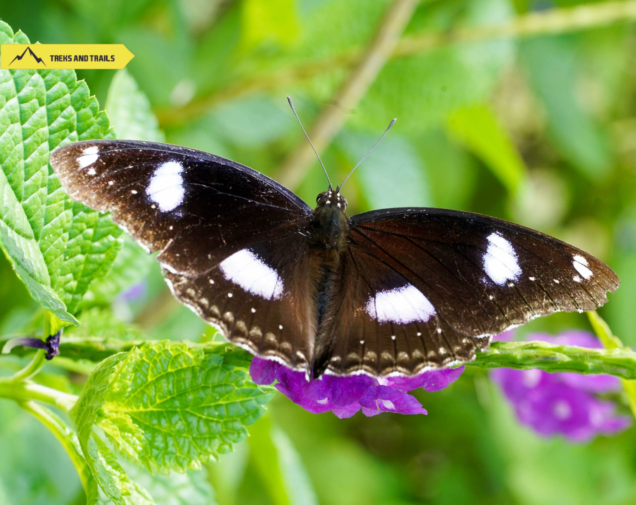 great-eggfly-butterfly