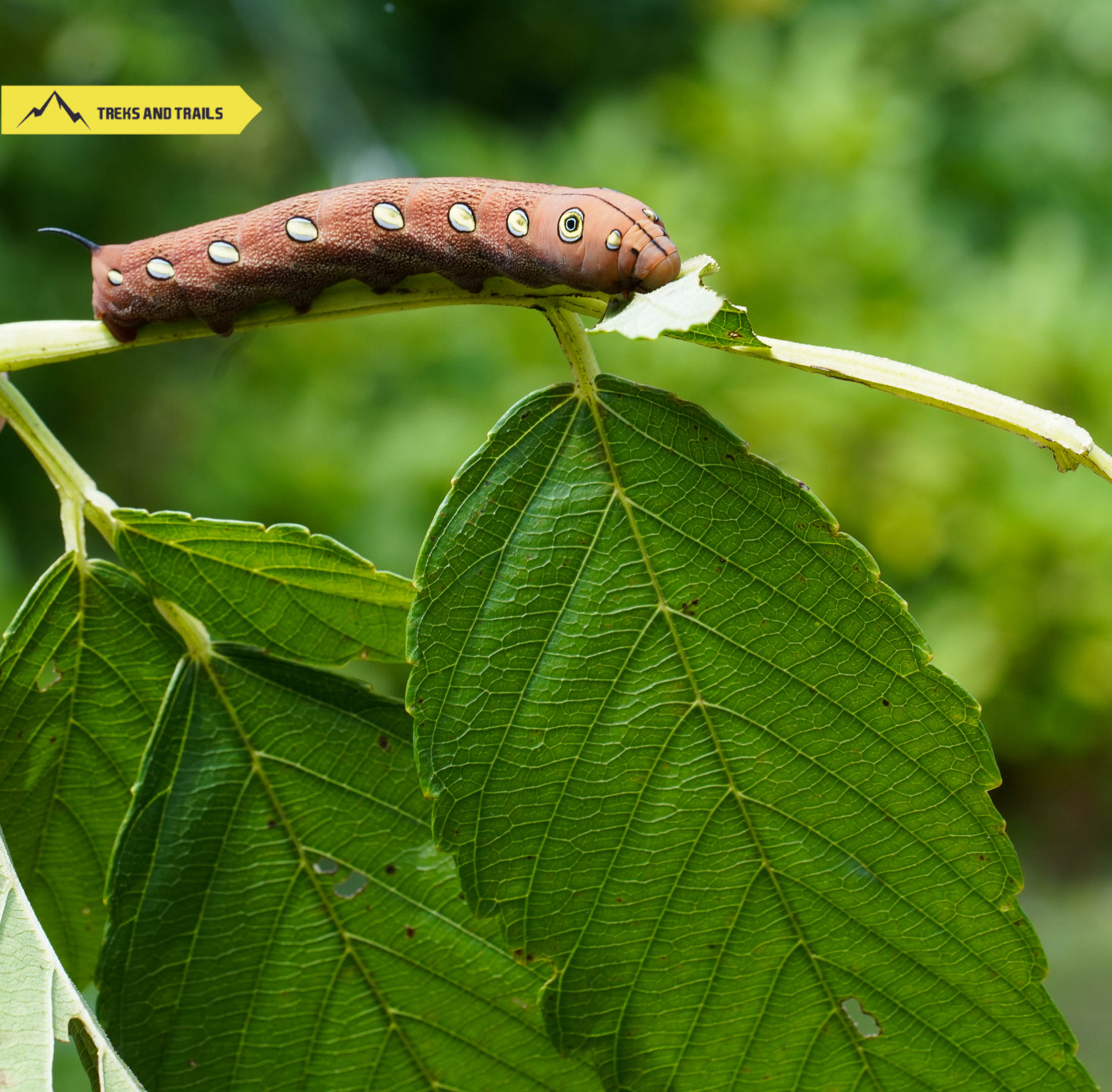 moth-caterpillar