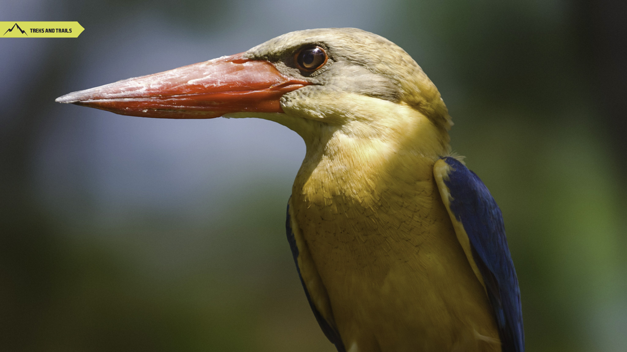 Stork-billed-kingfisher