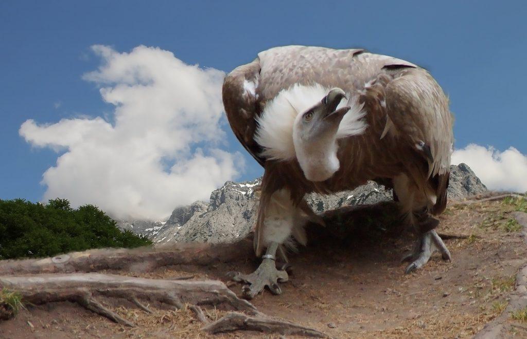 Himalayan Birds of Prey