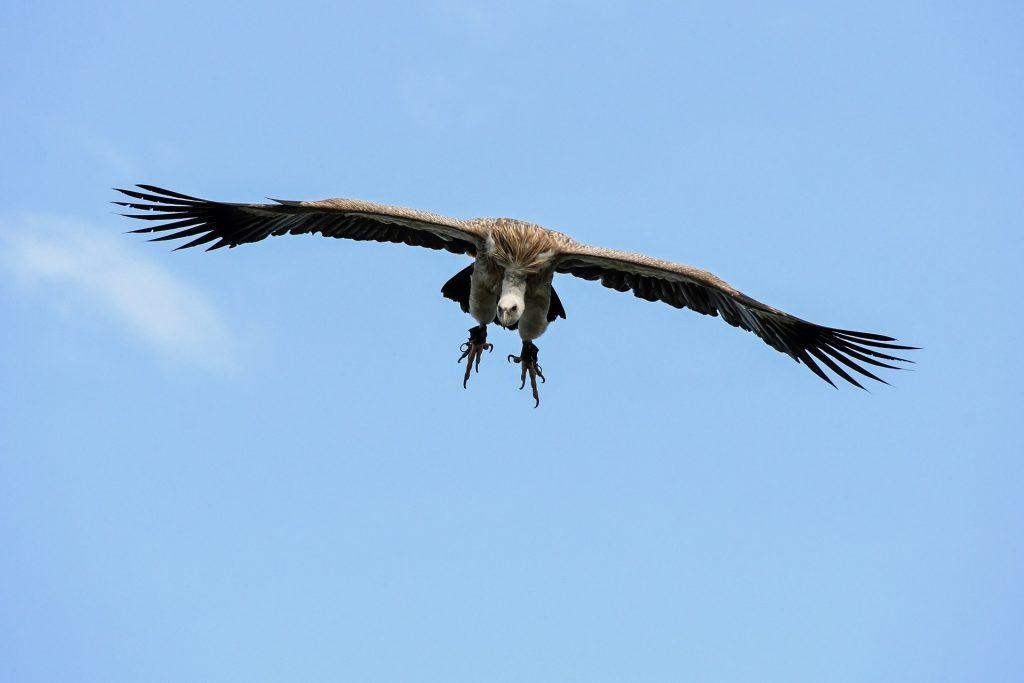 Himalayan Griffon Vulture (5)