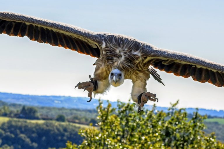 Himalayan Griffon The Largest Gyps Vulture